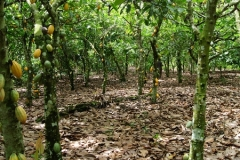 Sustainable-cocoa-2