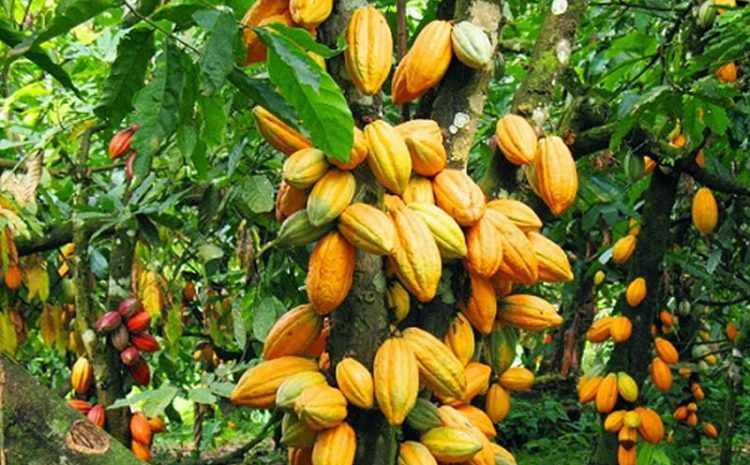 Conservation Alliance, Partners Launch New Cocoa Management Scheme.