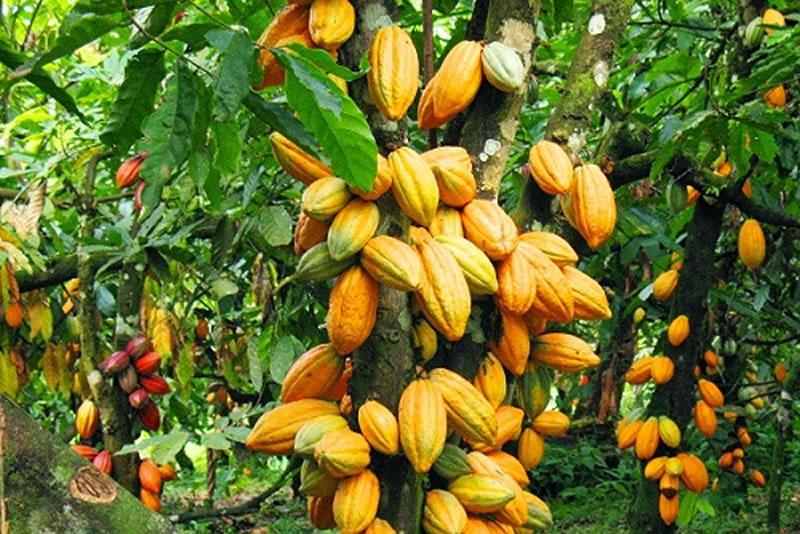 Conservation Alliance, Partners Launch New Cocoa Management Scheme.